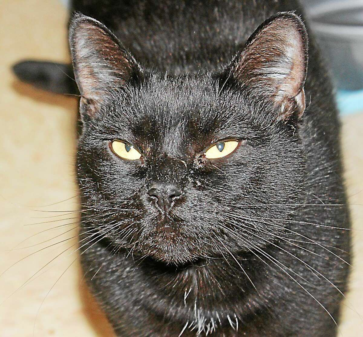 Cat of the Week!! Name: Dorothy Gender: Female Breed: Domestic Short Hair Color: Black Age: 2 years old Iím Dorothy! Iím a very sweet girl. I love to be pet, play, and love attention. I need a home with children over 8 years old and a home with at least one other cat or another Cat Tales cat. Please adopt me! (No Dogs) On the Web: http://www.cattalesct.org/cats/dorothy/ PH: (860) 344-9043 Email: Info@CatTalesCT.org