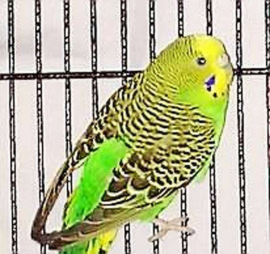A little greenie  There are six parakeets available in our bird booth at the Newington shelter ranging in age from 3 months to 2 years.  They are a beautiful array of light green, yellow and aqua bringing tropical lushness right to your fingertips.  Get to know our little warm-footed friends and bring a little sunshine and song into your home today. Inquiries for adoption should be made at the Connecticut Humane Society located at 701 Russell Road in Newington or by calling (860) 594-4500 or toll free at 1-800-452-0114. Photo: Journal Register Co.