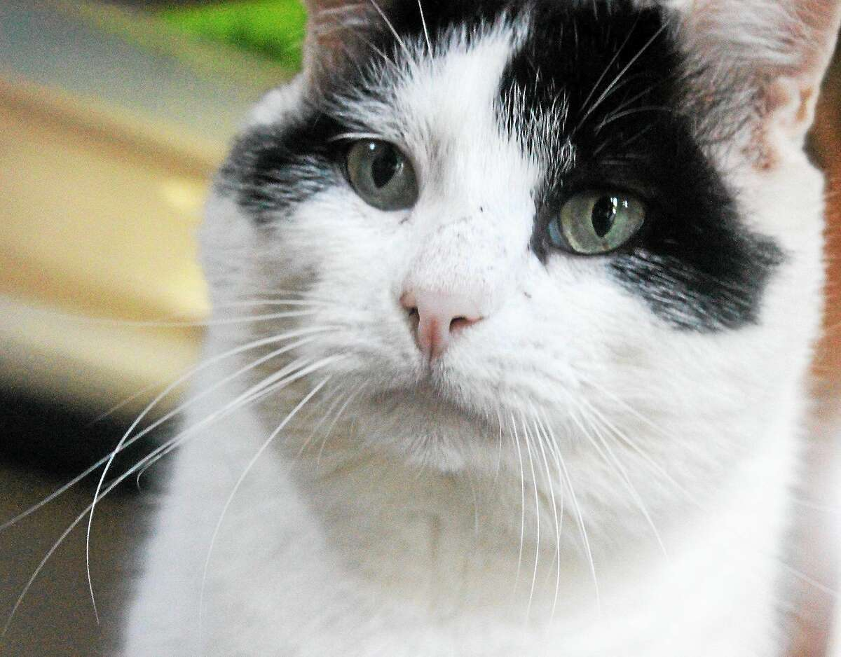 Name: Oreo Gender: Male Breed: Domestic Short Hair Color: White & Black Age: 7 years old Iím one of the sweetest boys youíll ever meet. I have a loud purr, seek attention from people, and like to be pet. One of my good friends at Cat Tales is Larry! I donít like to be picked up and I need a quiet home with a patient, cat-experienced person whoíll give me time to adjust. Iím FIV+. Humans canít catch this and itís difficult for other cats to catch. Iíd love to curl up in your lap and sleep with you at night. Can I come home with you? (No Dogs/No Children) On the Web: http://www.cattalesct.org/cats/oreo/ PH: (860) 344-9043 Email: Info@CatTalesCT.org