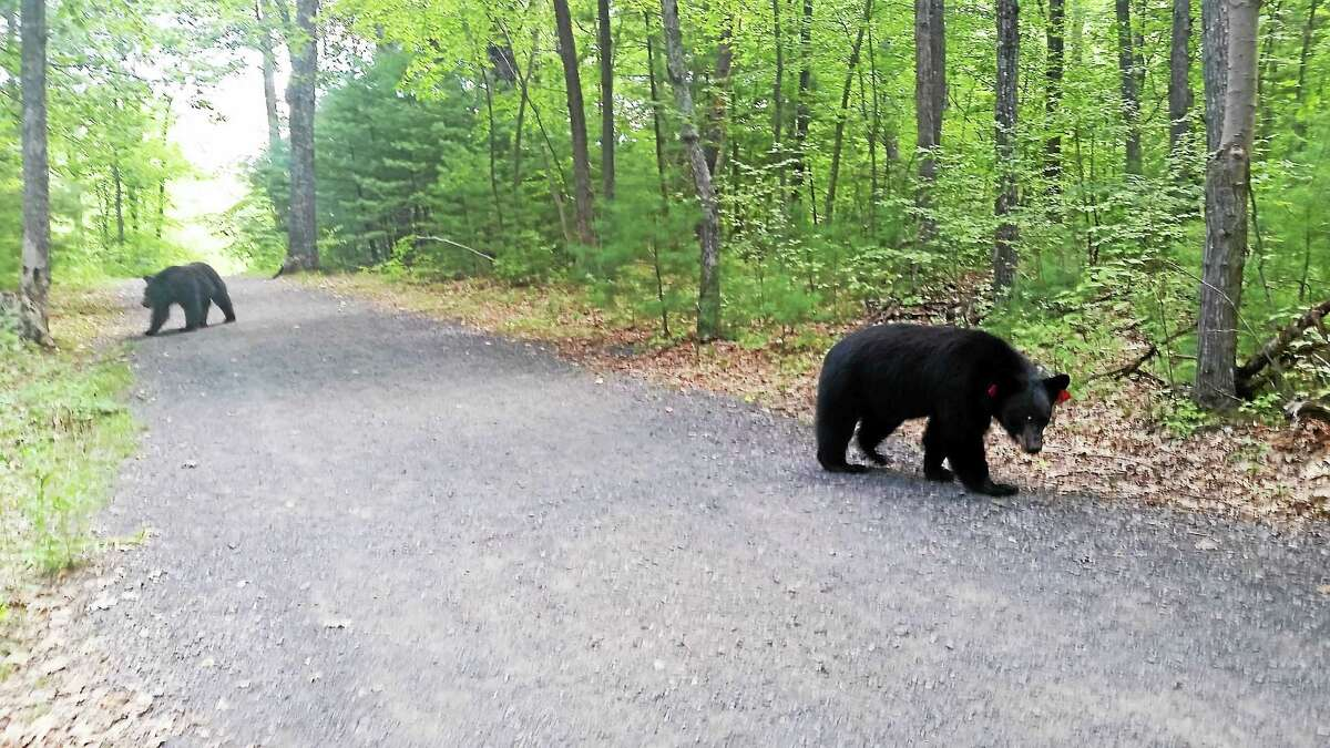 A young male bear approaches a local hiker at a trail at Sessions Woods in Burlington last week.