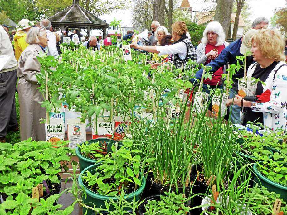 Essex Garden Clubís May Market.  The Market will be held Saturday, May 9th from 9am to 2pm, rain or shine, in the town park located on Main Street in Essex Village.   Always popular, the Membersí Plants section of the market will offer prized perennials, ground covers, grasses, and shrubs dug and potted from the gardens of club members.  These plants, grown and locally dug, are proven winners in a microclimate and soil similar to other area gardens like yours. May Market is the Garden Clubís only annual fundraising event.  Proceeds from purchases support the Clubís educational and civic improvement projects.  These funds enable the Club to beautify the landscapes of our town parks and traffic islands.  Annuals are also purchased for the Essex Town Hall, Essex Fire Department, Essex Landfill and Recycling Center, Centerbrook Post Office, Silent Policeman, and to the Ancient Order of Weeders who plant the islands on Route 154. Importantly, May Market funds provide scholarships for high school seniors, college students, summer camperships for young students, and educational programs for Essex ElementarySchool and John Winthrop Middle School. Photo: Journal Register Co.