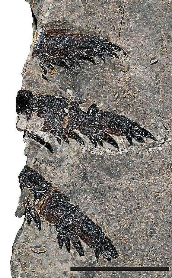 Fossils of juvenile Pentecopterus. Photo: Courtesy Yale University