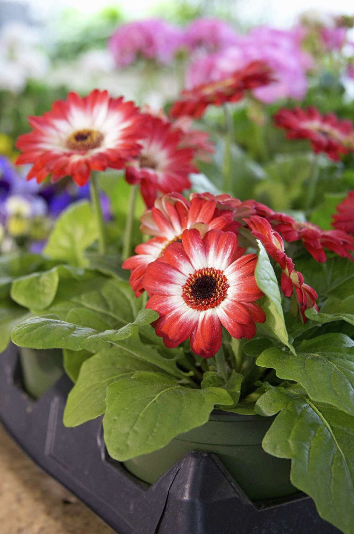 Gerbera daisies for sale at Natural Affairs Flower Shop in Portland.