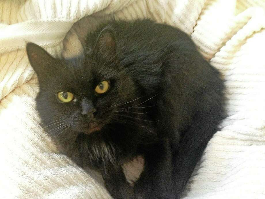 My name is Sable! Can I Come Home With You?  I am a lovely and sweet little kitty! I am a bit shy when you first meet me, but once we are friends, I will greet you with a dainty meow and will be so happy when you pet me.  My friends at Cat Tales tell me I should be in a fancy cat food commercial because I am so beautiful with my long, black fur and pretty yellow eyes.   I was brought to Cat Tales with Pooh who can be adopted with me, but I could also be content as an only cat or with another cat, as long as they are mellow like me. Children and loud noises scare me, so I would do best in a quieter home.   If you are looking for a sweet new kitty, please come and meet me, Sable!  Please call Cat Tales at (860) 344-9043 or  Email: info@cattalesct.org to inquire about Sable! Photo: Journal Register Co.