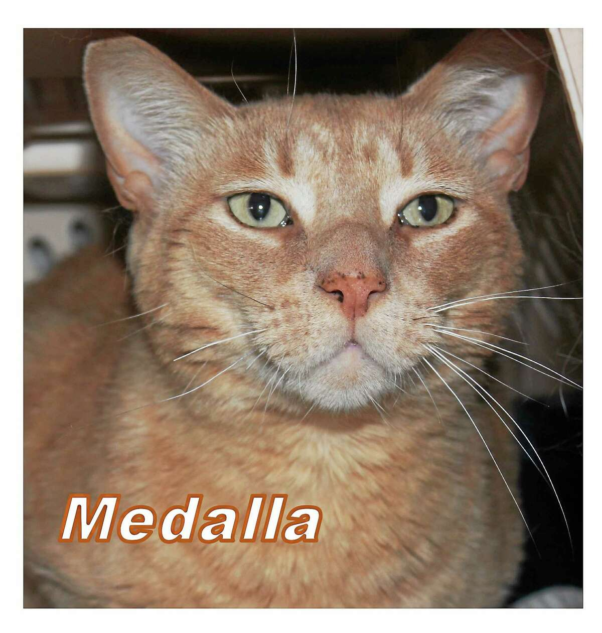 Iím Medalla! Iím a short ?-?hair, buff-colored male, almost 3 years old. Iím always there to greet my human Cat Tales friends as soon as they walk in the door! I have expressive eyes and a very easy temperament. Look closely and you can see my ìsmileî. A home with older children and no dogs is best for me. Iím okay as the only pet or with one other non-dominant cat is okay, too. Iím a bit overwhelmed at the shelter so I am hoping a kind and gentle family will take me home soon. I am responsive to petting and talking and would love to cuddle up next to you at night. Cat Tales is seeking permanent adoption for me and will tell you the best way to take care of me. Please call Cat Tales at (860) 344-9043 or Email: info@CatTalesCT.org to inquire about Medalla!
