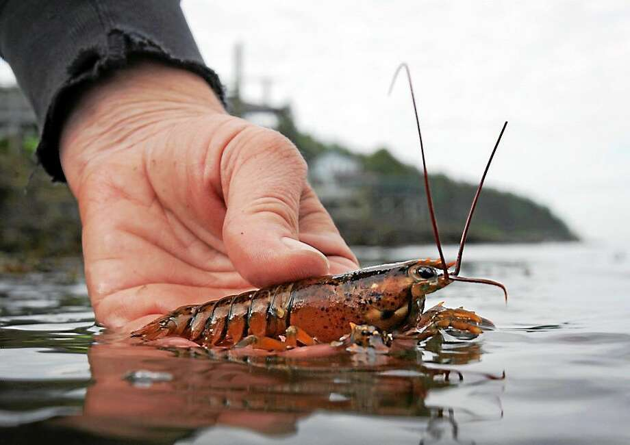 A baby lobster Photo: AP File Photo