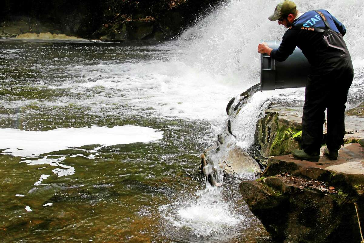 Mancini stocks the Coginchaug River with trout on Friday at Wadsworth Falls State Park in Middlefield.