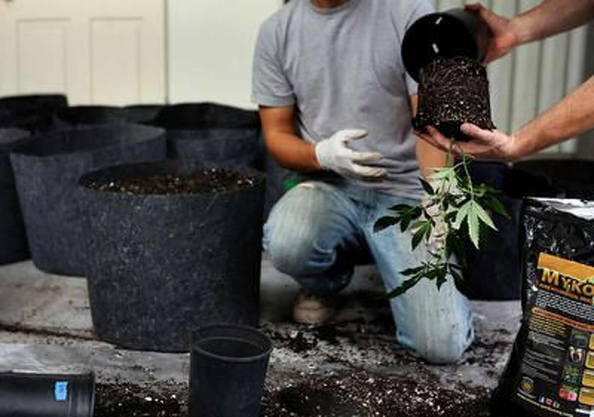 Two workers plant cannabis for marijuana cultivation at a growing operation in the mountains surrounding Soquel on Wednesday afternoon. Some locals are trying to implement an accreditation program that assures health and safety measures for marijuana.