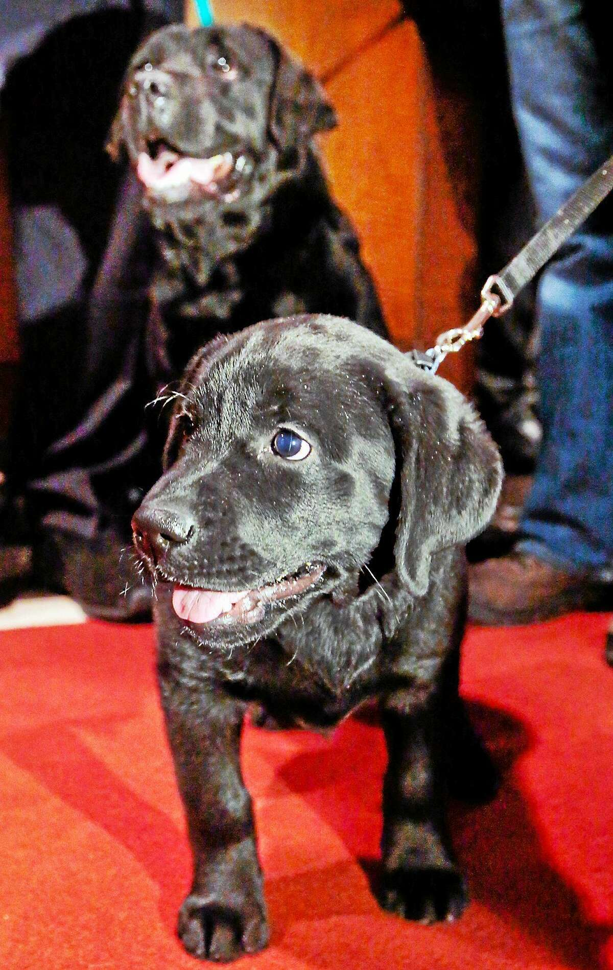 Labrador retrievers Carmen, top, and Teagan, of Galloway, N.J., are posed during a press conference on Jan. 31, 2014, in New York.