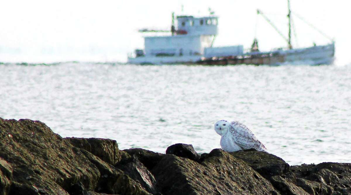Donna Caporaso - Special to the Register Snowy Owl at Long Beach in Stratford, 11/30/2013.