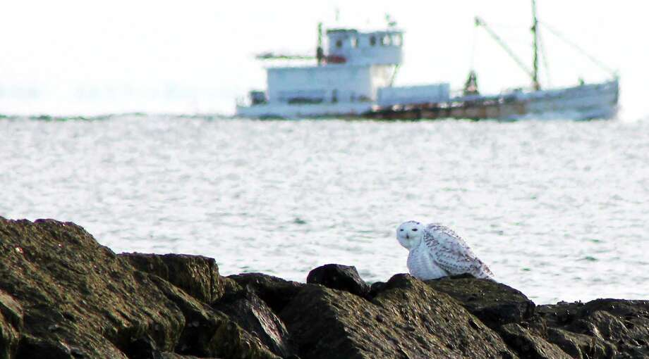Donna Caporaso  - Special to the Register Snowy Owl at Long Beach in Stratford, 11/30/2013. Photo: Journal Register Co.