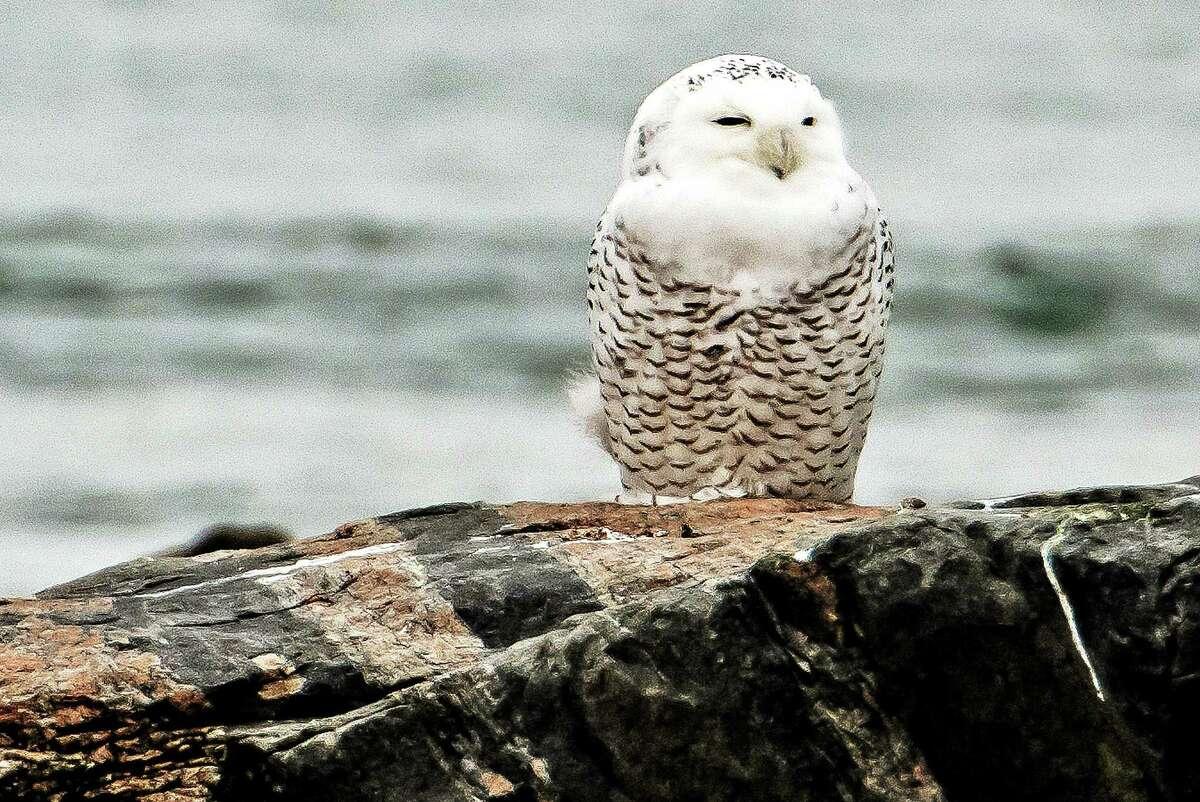 Bill Batsford - Special to the Register Snowy Owl at Hammonasset on 12/2/2013.