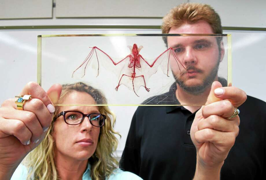 (Arnold Gold-New Haven Register)  Biology Professor Miranda Dunbar (left) and Research Assistant Christopher Wisniewski are photographed with a skeleton of a Little Brown Bat at Southern Connecticut State University in New Haven on 6/24/2015. Photo: Journal Register Co.