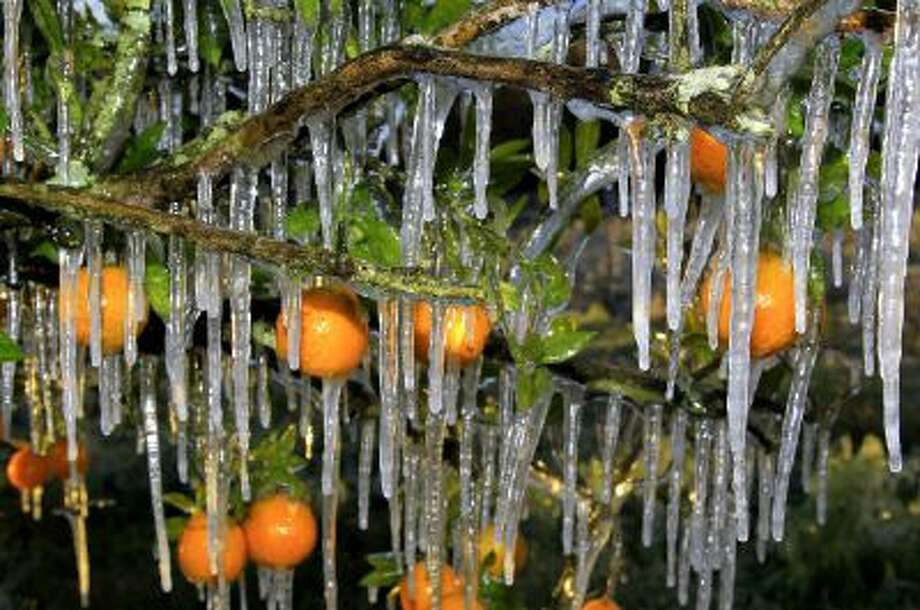 Icicles cling to oranges in a small grove just after sunrise Wednesday Jan. 4, 2012, in Seffner, Fla.