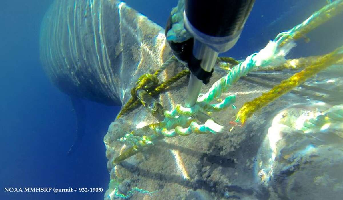 This image provided by NOAA's Marine Mammal Health and Stranding Response Program shows a camera on pole with flying line cutter knife making the last cut to free the whale. The Sanctuary said Feb. 21, 2015 that its craft got within 10 feet of the mammal a day earlier and the crew used a pole equipped with a knife to saw the line free.