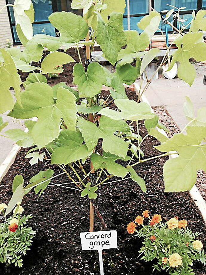 Courtesy Moody School Moody School's garden Photo: Journal Register Co.