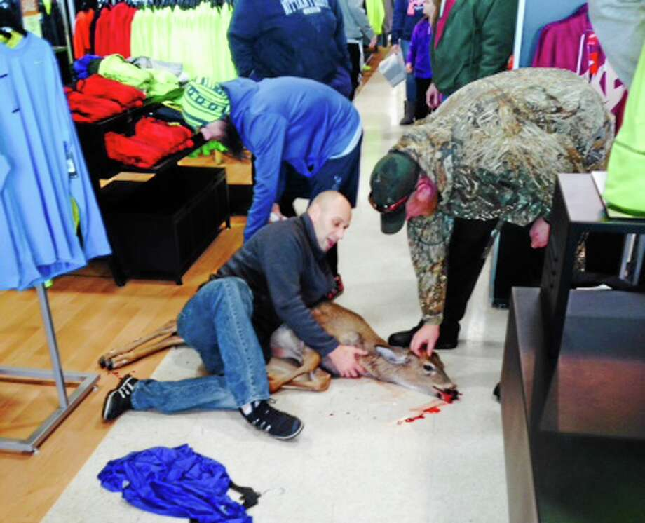 This photo provided courtesy of Eric Shemanski shows a deer on the floor after it was tackled to the ground after walking into a sporting goods store, Thursday, Dec. 26, 2013, in Reading, Pa. Store manager Brad Meyer says the deer slipped on the floor and a customer tackled it to the ground, preventing any injuries to customers or damage to the store. The store called the Pennsylvania Game Commission, which arrived and removed the deer. There's no word on where the deer was released. (AP Photo/Eric Shemanski) MANDATORY CREDIT Photo: AP / Eric Shemanski
