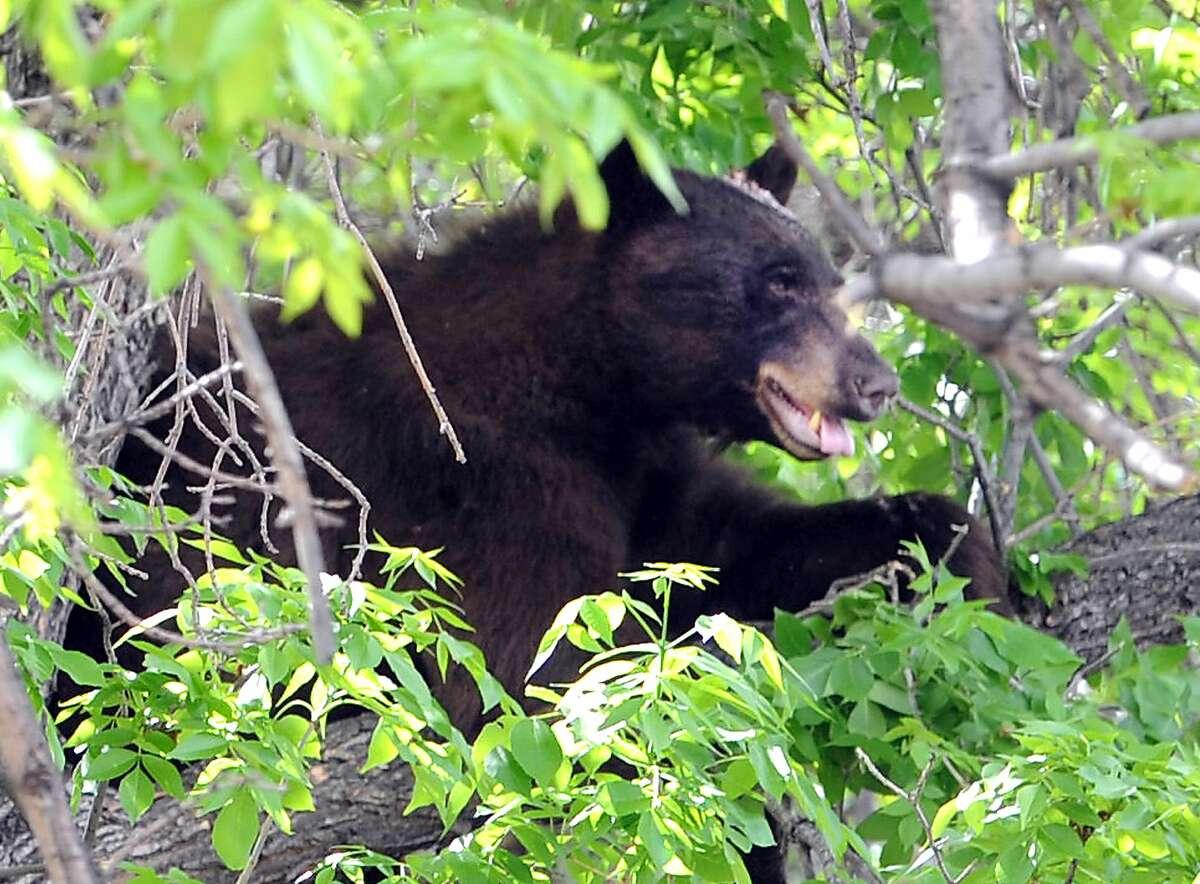 File photo A black bear