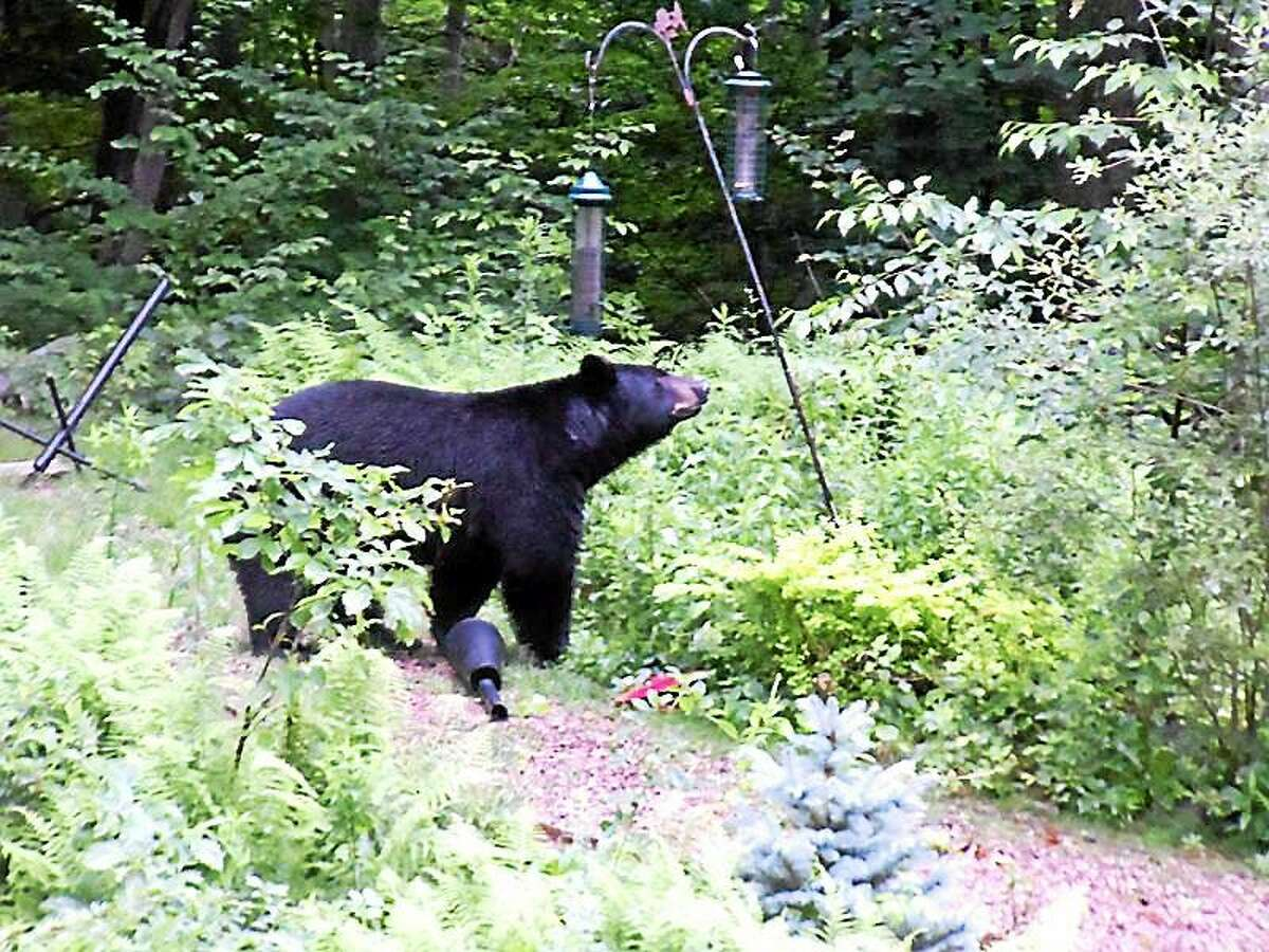A black bear makes a morning snack out of suet cakes outside the Norris's deck in North Guilford in this file photo from July 2011.