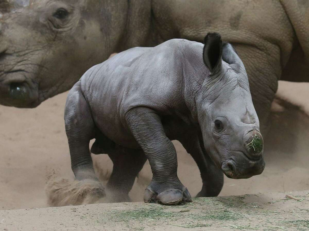One day old Bruce the baby White Rhino with mother named Dot, at Blair Drummond Safari Park, at Blair Drummond, Scotland, Monday Oct. 13, 2014, born in the early hours of Sunday morning and is just beginning to take his first steps. Bruce was named after Robert the Bruce, king of the Scots in 1306 leading the Scottish nation during the wars for Scottish independence from England. (AP Photo / Andrew Milligan, PA) UNITED KINGDOM OUT - NO SALES - NO ARCHIVES