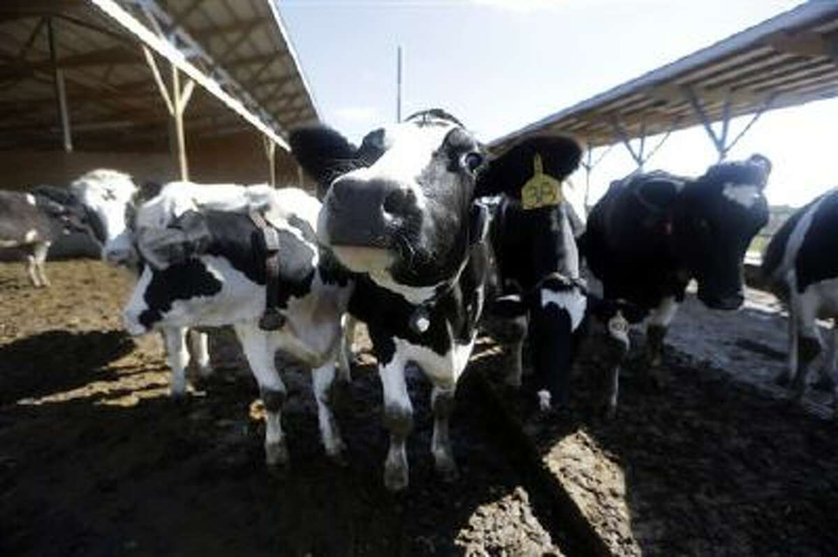 Dairy cows on a farm in Okawville, Ill., are shown in this photo. (AP Photo/Jeff Roberson)