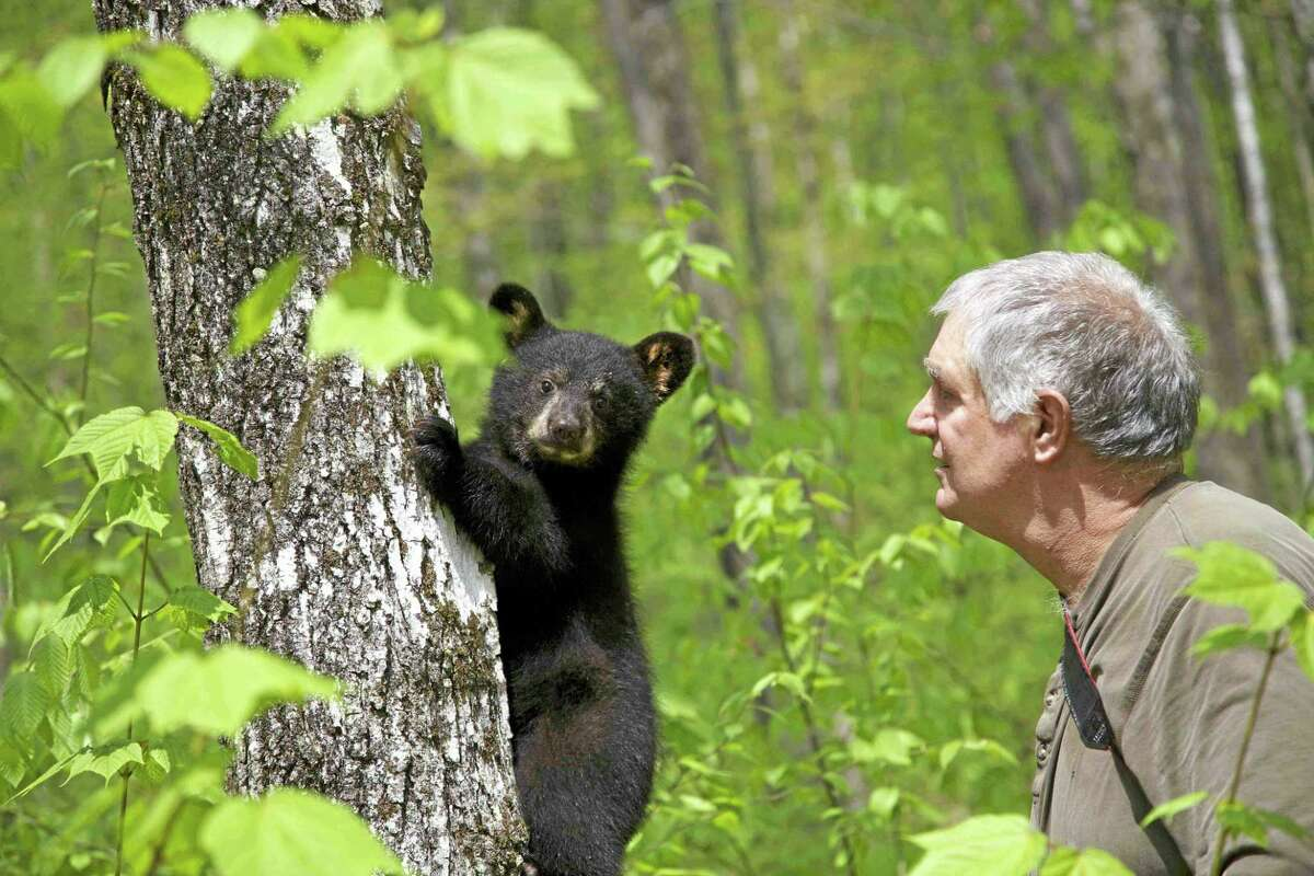 File photo A black bear cub.