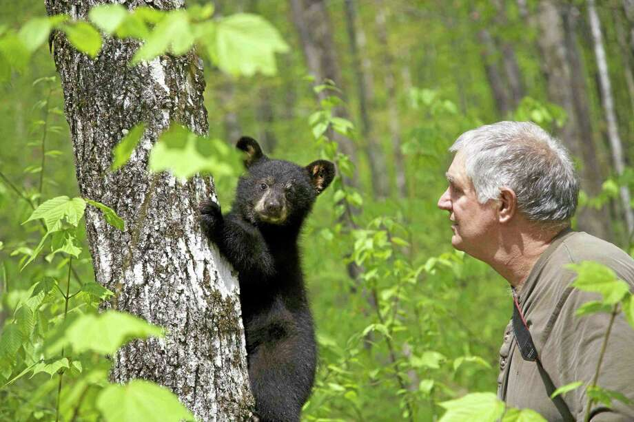 File photo A black bear cub. Photo: AP / Ben Kilham