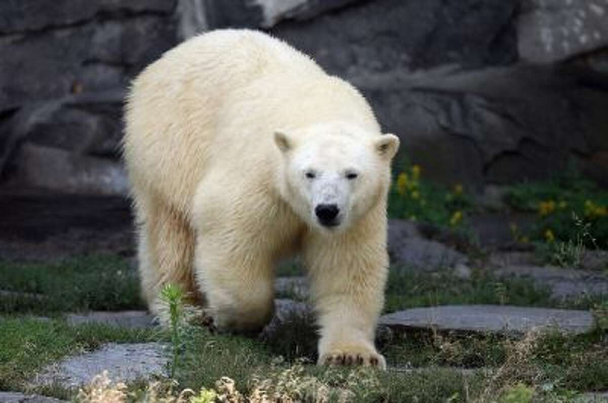 BERLIN, GERMANY - AUGUST 23: Two-year-old polar bear Wolodja walks in his enclosure at Tiergarten Berlin zoo on August 23, 2013 in Berlin, Germany. The zoo recently aquired Wolodja from a zoo in Moscow and zoo authorities are hoping he will pair with a female polar bear to impregnate her with a cub. Another polar bear cub, Knut, rose to world fame after he was born at Zoo Berlin zoo and was rejected by his mother. (Photo by Sean Gallup/Getty Images)