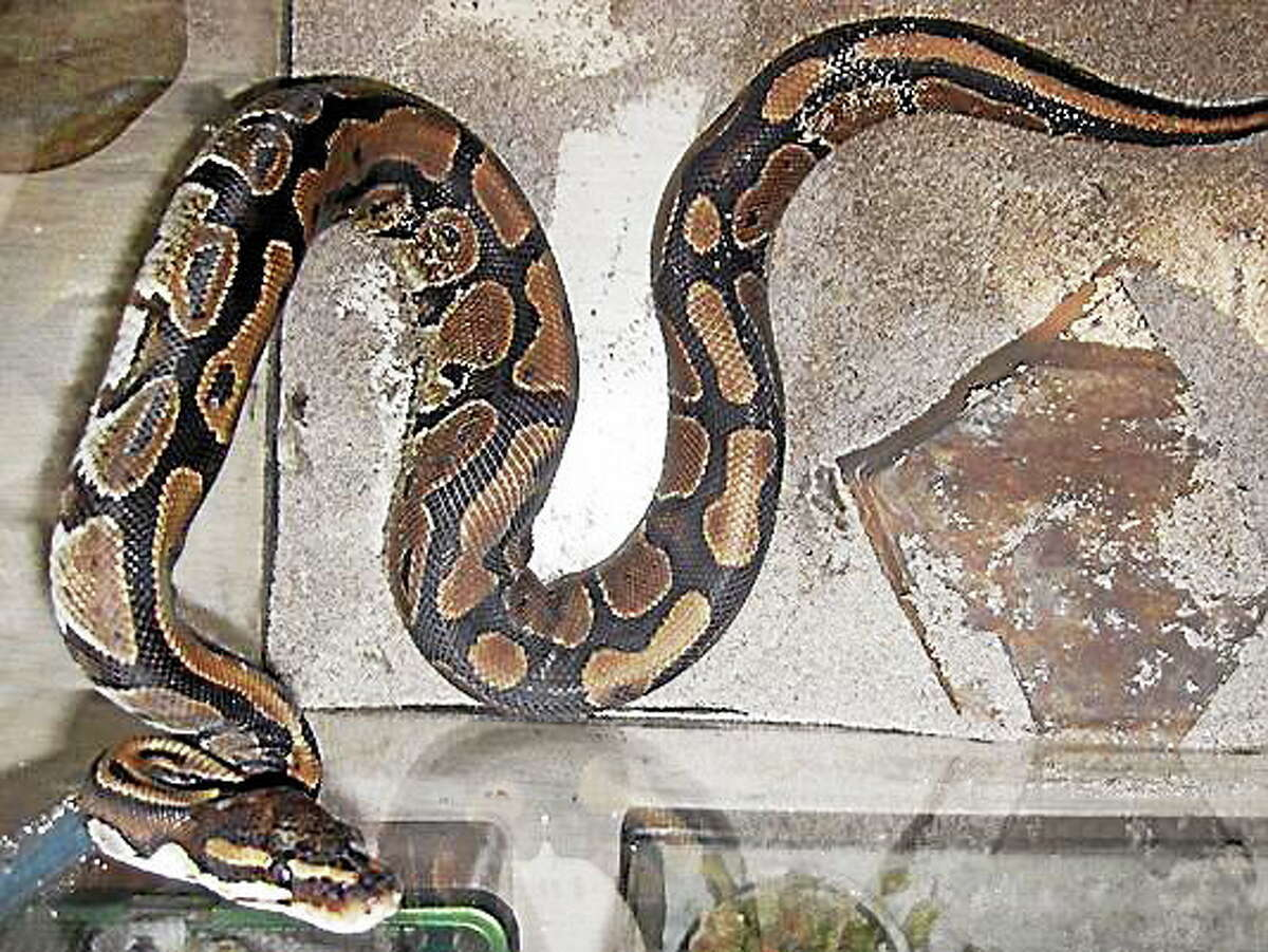 An example of a ball python, like that found in Long Island basement.