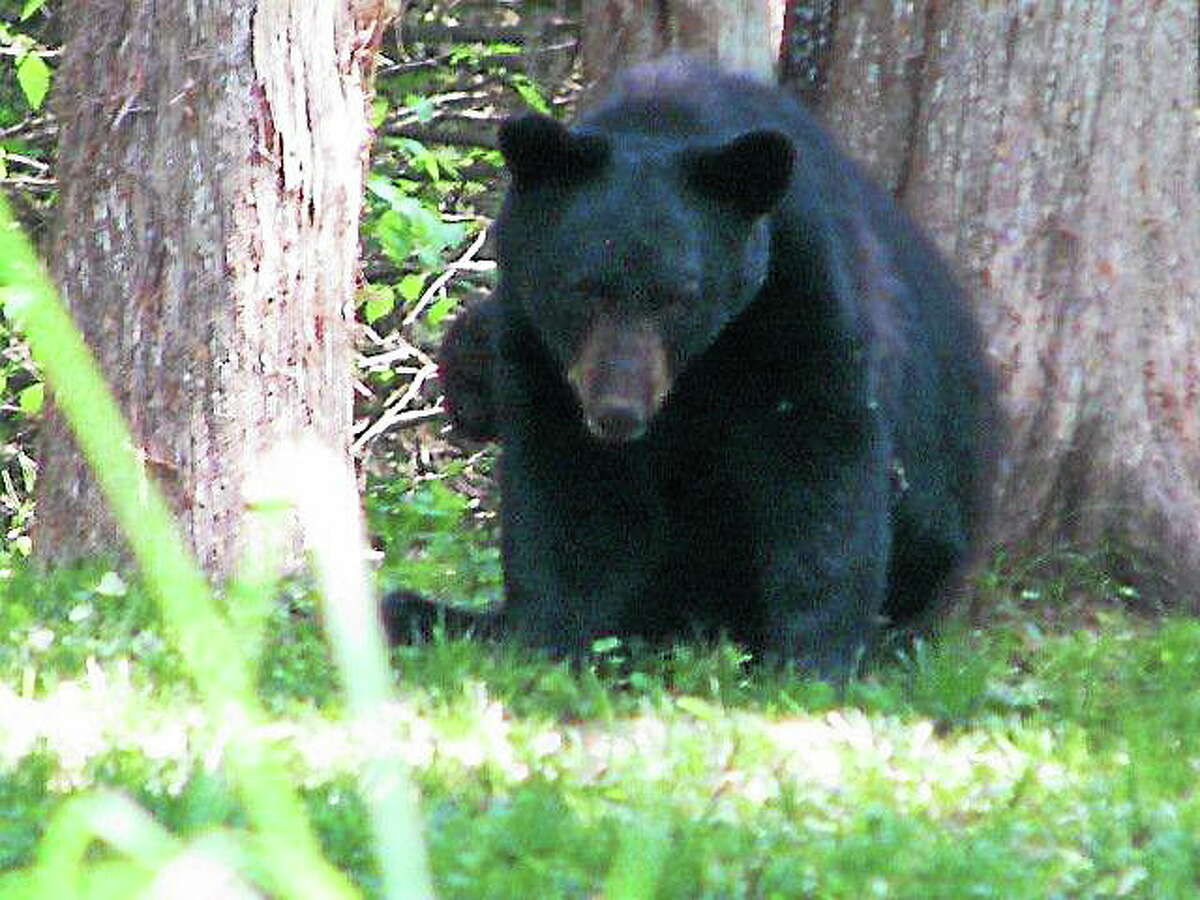 Submitted photo Kathy Richards took a photo of this bear spotted on Old Marlborough Turnpike in Portland Tuesday afternoon.