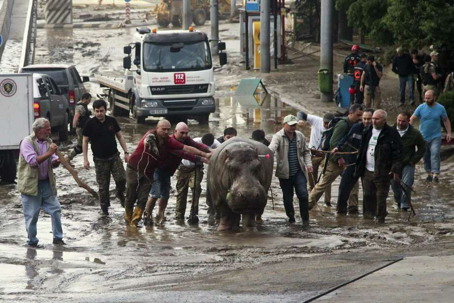 People help a hippopotamus escape from a flooded zoo in Tbilisi, Georgia on June 14, 2015. Tigers, lions, a hippopotamus and other animals have escaped from the zoo in Georgiaís capital after heavy flooding destroyed their enclosures, prompting authorities to warn residents in Tbilisi to say inside Sunday. Photo: AP Photo/Tinatin Kiguradze  / AP