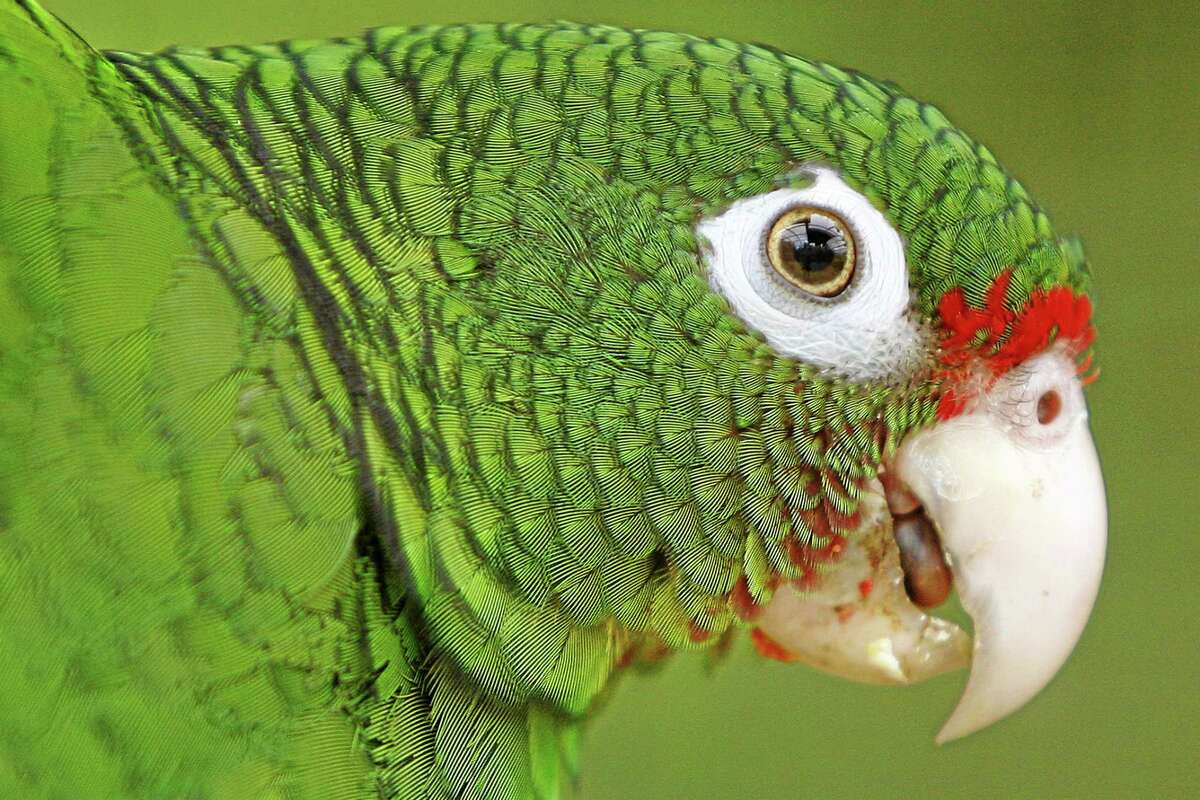 In this June 23, 2011 file photo, a Puerto Rican parrot is pictured inside a fly cage at El Yunque National Forest protected habitat in Luquillo, Puerto Rico.
