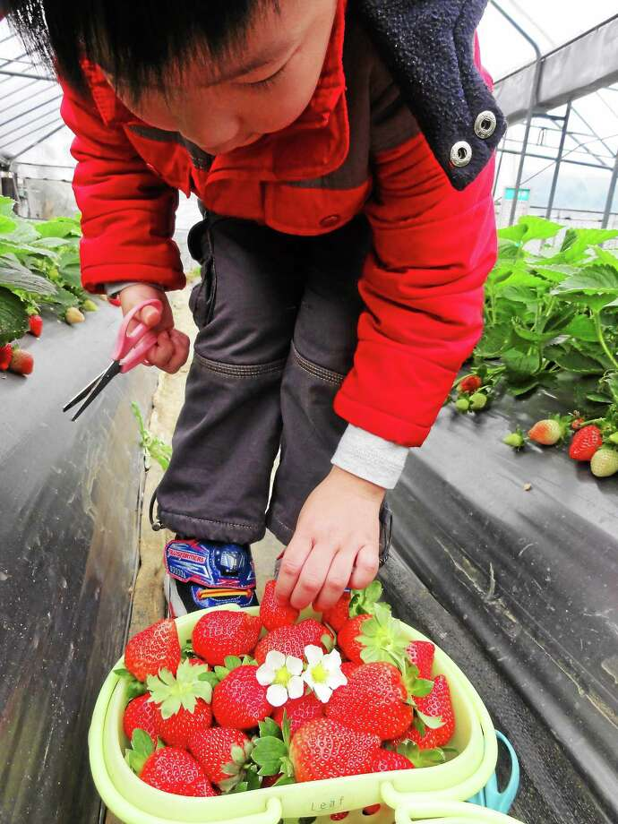Morguefile Strawberry picking is abundant in June. Photo: Journal Register Co.