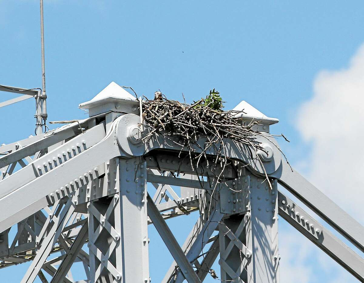 An osprey nest sits atop the swing bridge in East Haddam.
