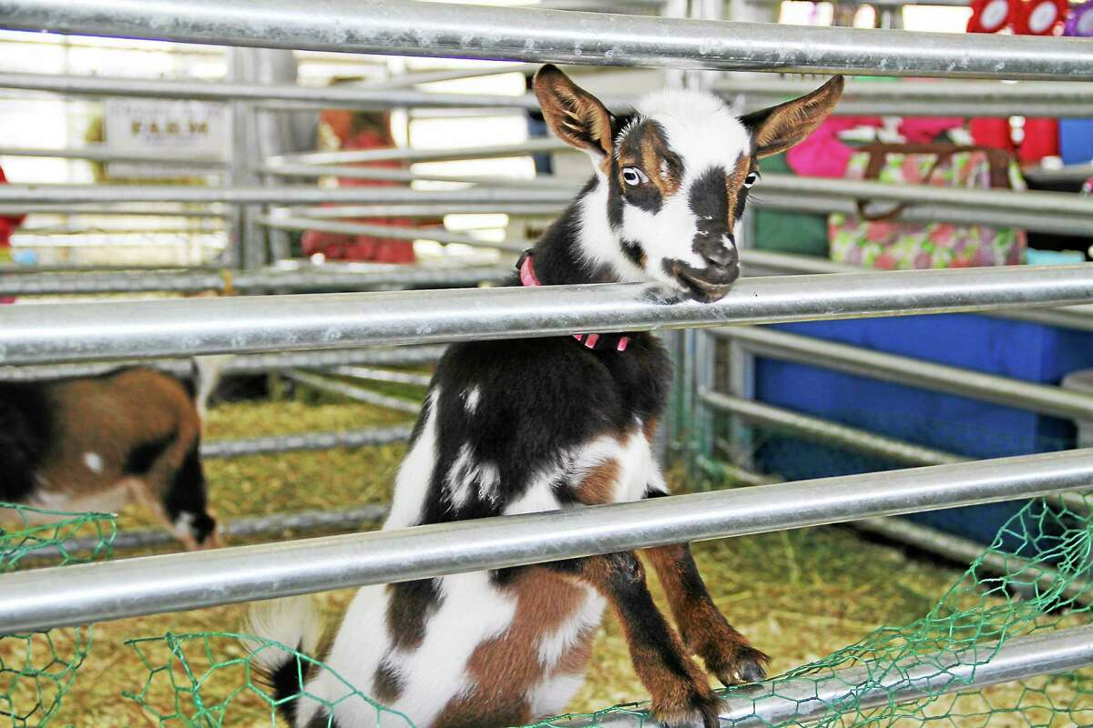Submitted photo A friendly baby goat greets a visitor at the Portland Fair, which takes place this weekend.