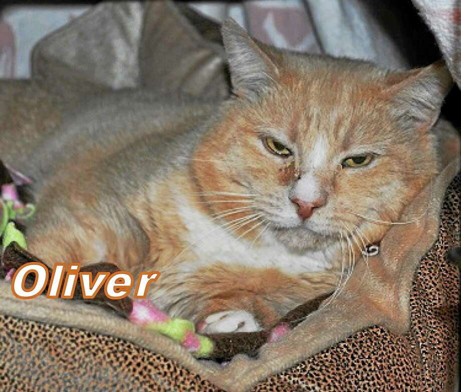 I'm Oliver! I am about 2 years old, Orange/Buff-colored neutered male. I am a laid back, easy-going boy and love to be petted and snuggled. I get along well with other cats, but I would also do just fine as the only pet.   A quiet home with a devoted owner who will give me time to adjust is what I am looking for. Once I get to know you, I will give you lots of love in return!  I am patiently waiting for someone to give me a chance of a forever home where I can give and get love and attention!  Cat Tales is seeking permanent adoption for me and will tell you the best way to take care of me.   Please call Cat Tales at (860) 344-9043 or  Email: info@CatTalesCT.org to inquire about Oliver! Photo: Journal Register Co.