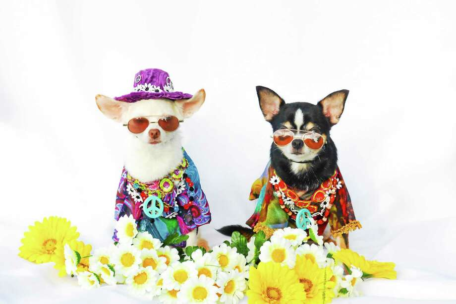 Contributed by: The New York Pet Fashion Show presented by TopiClean Photo: Journal Register Co.