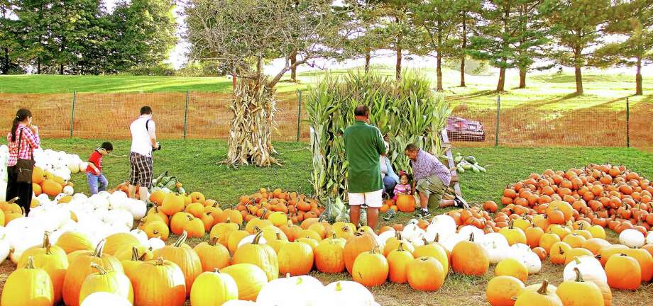 Pumpkin and apple picking season is in full swing at Lyman Orchards in Middlefield, which is reporting a robust harvest this year. Photo: Kathleen Schassler/Middletown Press  / Kathleen Schassler All Rights
