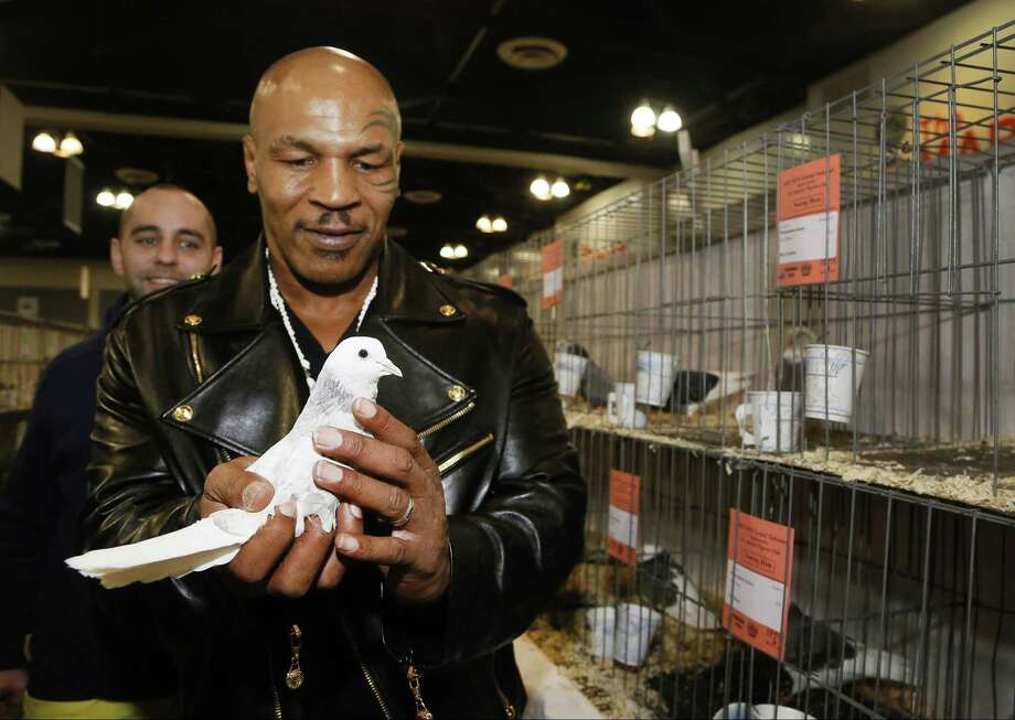 In this Thursday, Jan. 29, 2015 photo former boxing champion Mike Tyson holds a white homing pigeon at the National Pigeon Associationís 93rd annual Grand National Pigeon Show in Ontario, Calif. Tyson, who had pigeons as a youngster, has 1,800 now in Nevada, New Jersey and New York. He said he was 10 when he won his first fight because a neighborhood bully took one of his birds and broke its neck in front of him. (AP Photo/Nick Ut) Photo: AP / AP