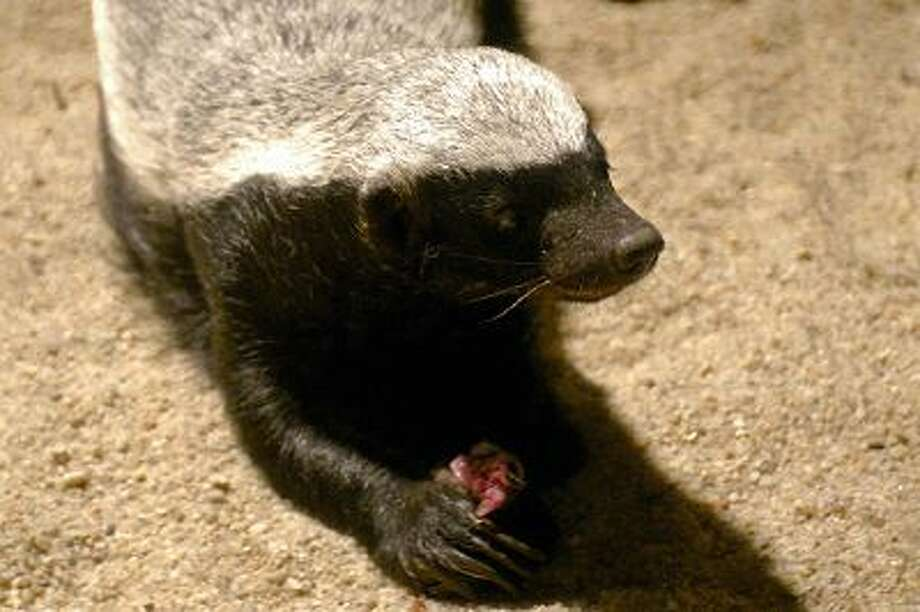A Honey Badger ''Mellivora Capensis'' eats a mouse at Prague's Zoo, 13 July 2007. Photo: AFP/Getty Images / 2007 AFP