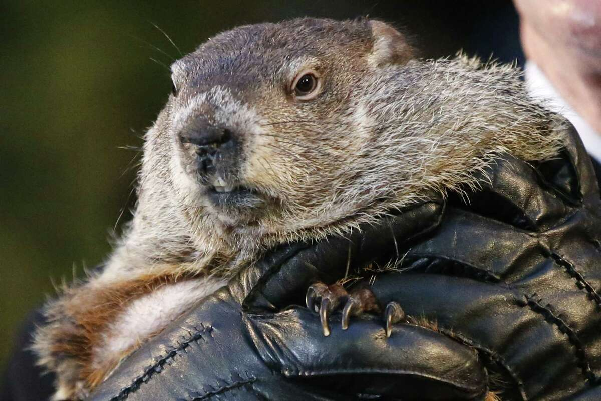 Punxsutawney Phil, the weather prognosticating groundhog, is held by the gloved hands of handler Ron Ploucha during the 129th celebration of Groundhog Day on Gobbler's Knob in Punxsutawney, Pa. on Feb. 2, 2015. Phil saw his shadow, predicting six more weeks of winter weather.