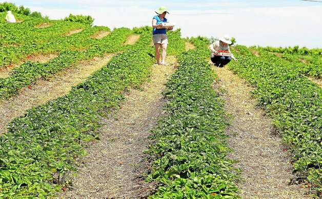 Blueberry Celebration, Middlefield Lyman Orchards will be hosting a day full of blueberry picking and live entertainment on Saturday for the Blueberry Celebration. Find out more. Photo: Kathleen Schassler — THE Middletown Press  / Kathleen Schassler All Rights