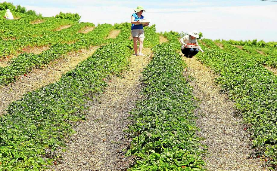 Strawberries are ripe and ready for picking at Lyman Orchards in Middlefield. The berry crops ripened a week early this year. Photo: Kathleen Schassler — THE Middletown Press  / Kathleen Schassler All Rights
