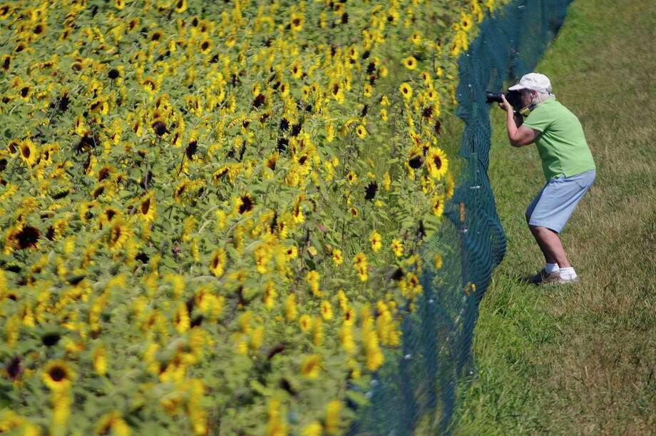 File  Betty Leidy, of Meridenphotographs the sunflower maze Photo: AP / The Hartford Courant