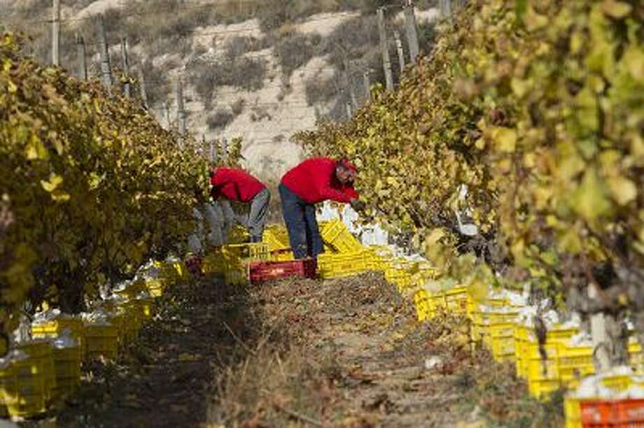 Employees harvest a vineyard of Vinalopo grapes in Novelda, eastern Spain, on December 24, 2013. Photo: AFP/Getty Images / 2013 AFP