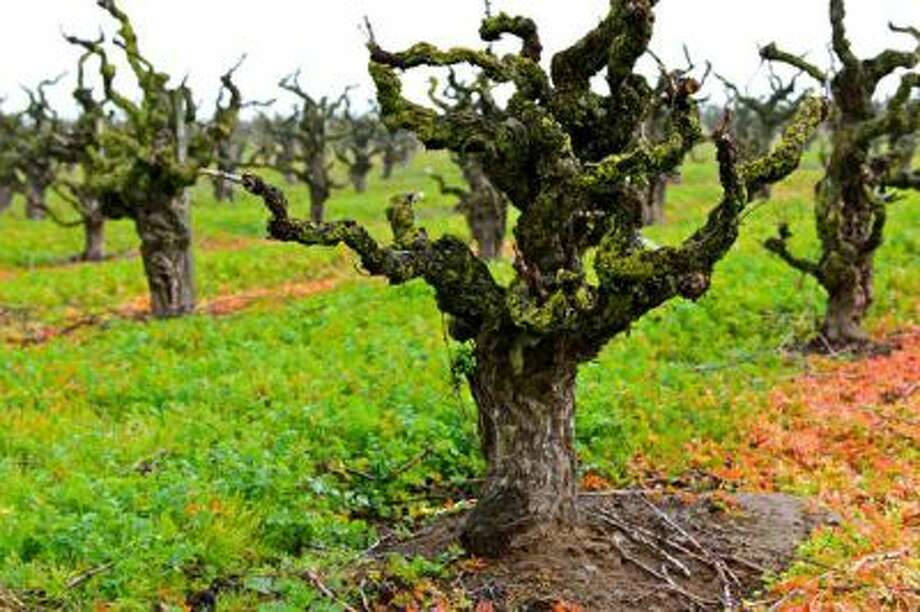 Old vine Zinfandel in Maley Brothersí Wegat Vineyard, Lodi AVA (planted 1958). Photo: Randy Caparoso / Lodi Grape Commission