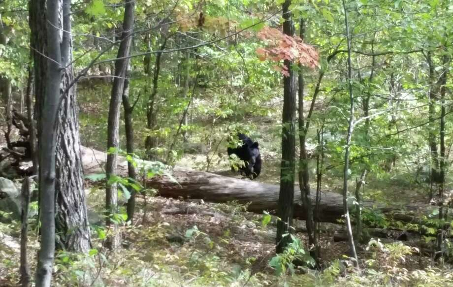 In this Sept. 21, 2014 photo taken by hiker Darsh Patel and provided by the West Milford Police Department, a bear approaches 22-year-old Patel in New Jersey's Apshawa Preserve. Patel was mauled to death by the bear shortly after the photo was taken. (AP Photo/Darsh Patel via West Milford Police Department) Photo: AP / West Milford Police Department