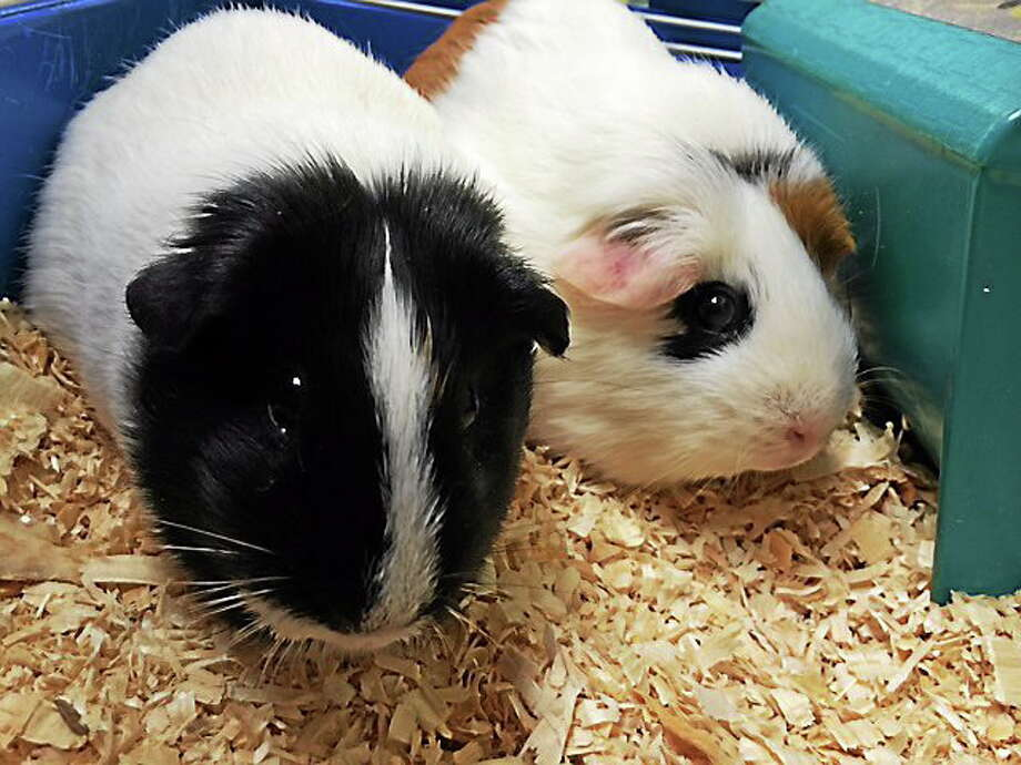 Courtesy Cromwell Animal Control Cromwell Animal Control corralled two guinea pigs hikers found abandoned at Cromwell Meadows. At left is Penelope and at right, Sandy. Photo: Journal Register Co.