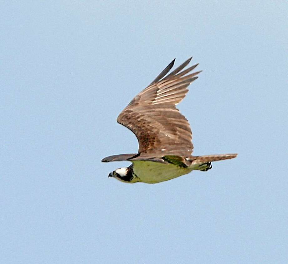 Participants in an upcoming talk in Essex will be introduced to the magnificent osprey. Photo: File  / Daily Local News