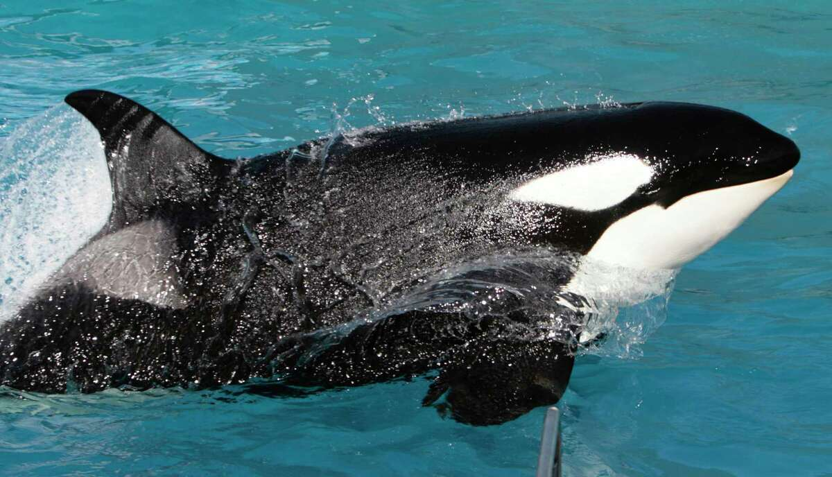 In this Nov. 30, 2006, file photo, Kasatka the killer whale performs during SeaWorld's Shamu show in San Diego. SeaWorld will end its orca shows at its San Diego park by 2017, its top executive said Nov. 9, saying customers at the location have made clear they prefer killer whales acting more naturally rather than doing tricks.